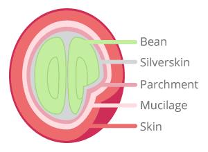 Coffee Cherry Anatomy - Skin, Mucilage, Parchment, Silverskin, Bean